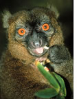Lemur high on millipedes seeds