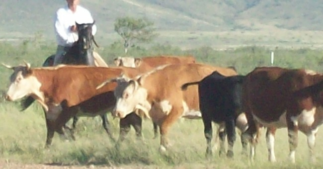Money Laundering,  Mafia and Drug Cartel Accusations in Arizona's Cattle Theft Scandal